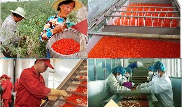 Трудолюбивые китайцы готовят ягоды Годжи